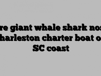 Rare giant whale shark noses Charleston charter boat off SC coast